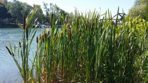 cattails canal