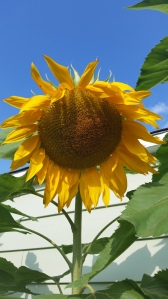 After many garden fails, the sunflowers definitely made up for other disappointment.