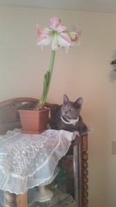 My cat Leo has supernatural leaping abilities, and way too close for comfort to my amaryllis!