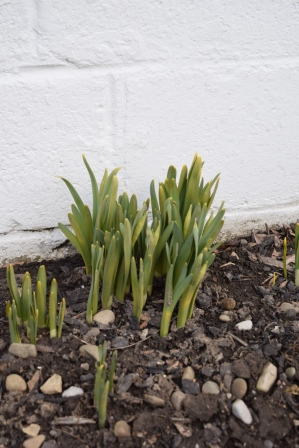 The daffodils at my neighbor's house are coming up-- a great sign!