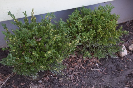 Boxwood are commonly used for borders. Deer do not seem to bother these, which makes them even more ideal for your landscaping!
