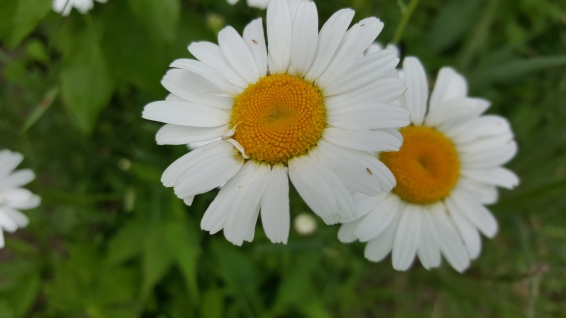 Wild daisies are a sure sign of summer!