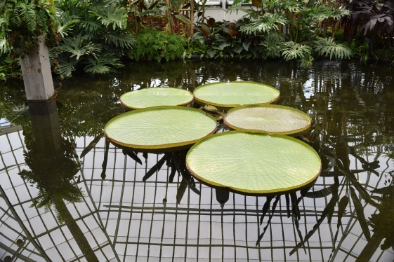HUGE lily pads. They can hold a 30lb. child!