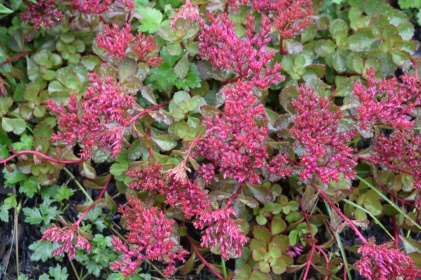 Two stone crop sedum