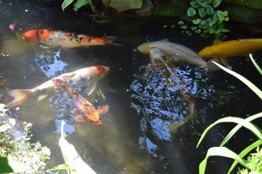 Koi Pond -- one koi is over 25 years old!