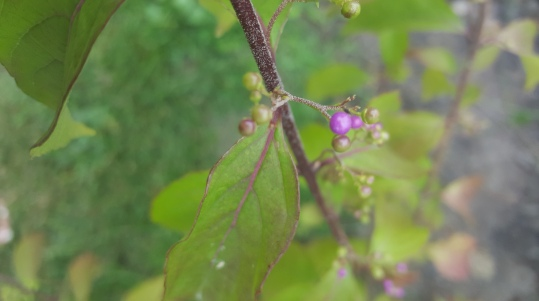 If there is one plant you should have for fall color, the beautyberry is it!